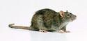 крыса как приручить